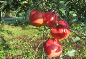 EM栽培りんご