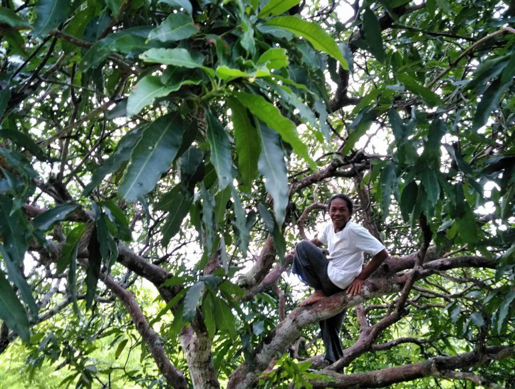 木に登ってパパイヤを取りに
