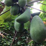 アラムヌサの果物