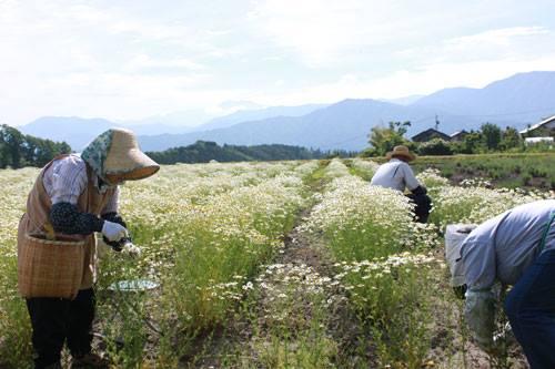 カモミールの収穫